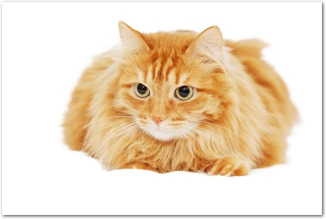 伏せながらこちらを見上げる猫