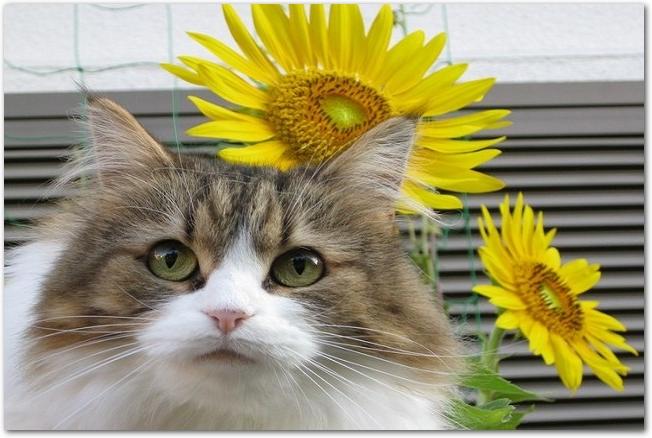 窓際にいる子猫とひまわりの花