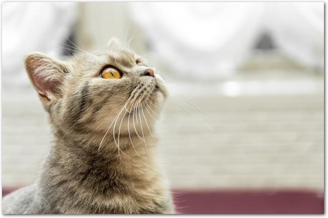 ソファーに乗って上を見上げる猫