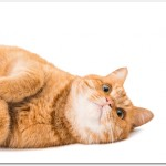 賃貸マンションで猫の臭いを消す方法は?原因は?対策は?