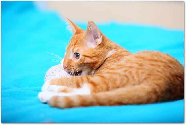フローリングに寝そべって遊ぶ猫の様子