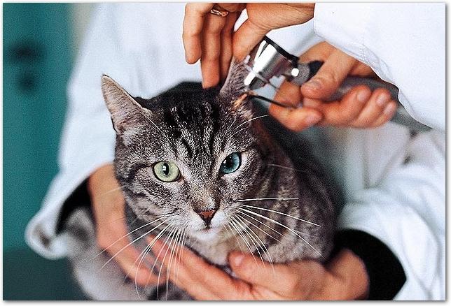 獣医さんに診察してもらっている黒猫